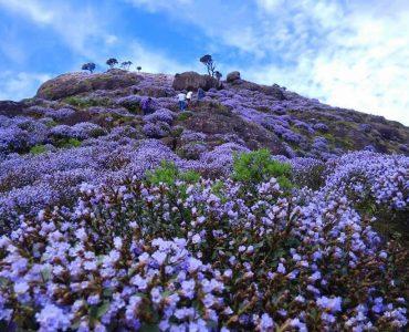 Neelakurinji blossom season in Munnar